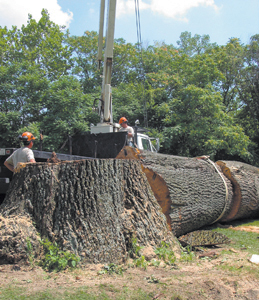 This Red Oak tree was approximately 10 feet in diameter and 31 feet in circumference. Starting at 7am, Wednesday, August 17, 2005, Derek Veit and Chad Tinkel from the Fort Wayne Parks Department felled this tree at the corner of Engle and Bluffton Road.