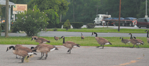 Waynedale geese stop for coffee and doughnuts at Karen's Kitchen.