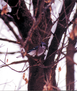This bluejay was spotted on a wooded trail at Fox Island, it is one of the vulnerable species affected by the West Nile virus.