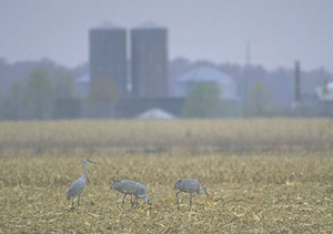 photo by Richard Fields Grain fields for a 15-mile radius around the Jasper-Pulaski Fish and Wildlife Area play host to foraging birds at midday.  Sandhill cranes are omnivorous and will eat insects, waste grains, crayfish, frogs, small animals, root tubers and plant shoots.