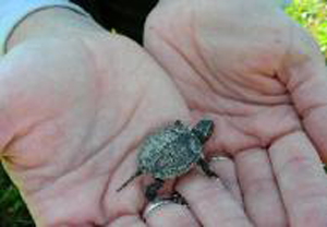 photo by Steve S. Ross Painted Turtle found in the wetland preserve at Eagle Marsh.