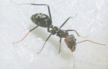 CIRCUS ANTS