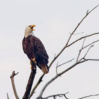 Eagle-Marsh-BioBlitz-Eagle-on-branch