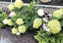 THE SEASON OF HYDRANGEAS – Green-Thumb Gardener