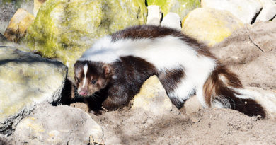 SKUNK IN THE YARD – Life In The Outdoors