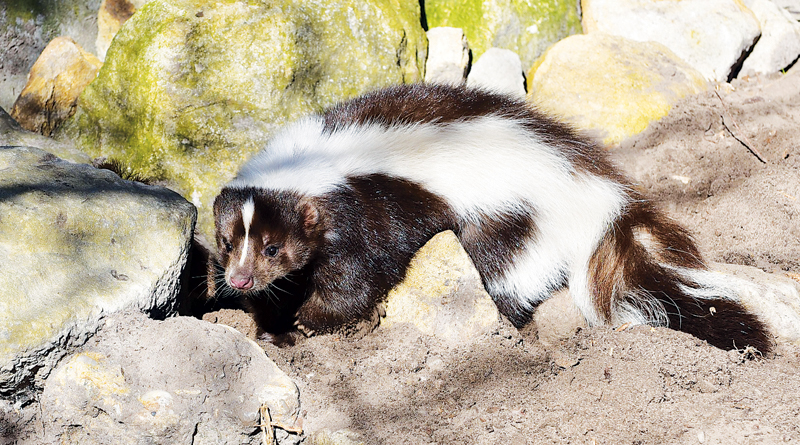 SKUNK IN THE YARD - Life In The Outdoors - The Waynedale News
