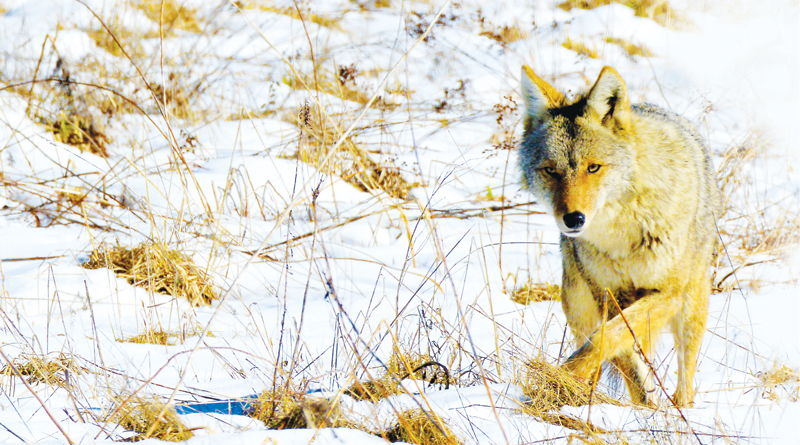 HAVE YOU SPOTTED COYOTES NEAR WAYNEDALE?