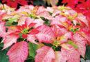 POINSETTIAS FOR CHRISTMAS – Green-Thumb Gardener