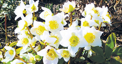 HELLEBORES WILL WITHSTAND THE WINTER – Green-Thumb Gardener