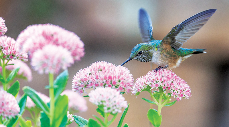 HERE COME THE HUMMINGBIRDS – Homeowner Rx