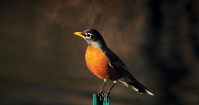 ROBINS SING TO SPRING – Life In The Outdoors