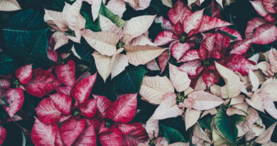 HOW TO ENJOY YOUR POINSETTIA YEAR AFTER YEAR – Green-Thumb Gardener