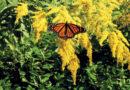FIVE PERENNIALS FOR LATE-SUMMER & FALL COLOR – Green-Thumb Gardener